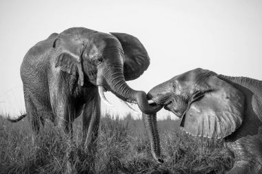 Elephants Playing In Mud Black And White