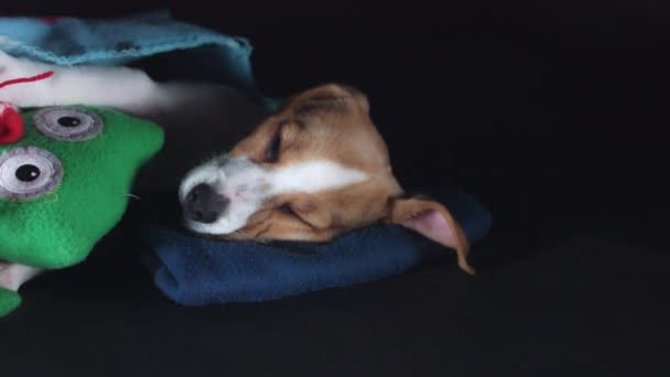 Bígl štěně spát