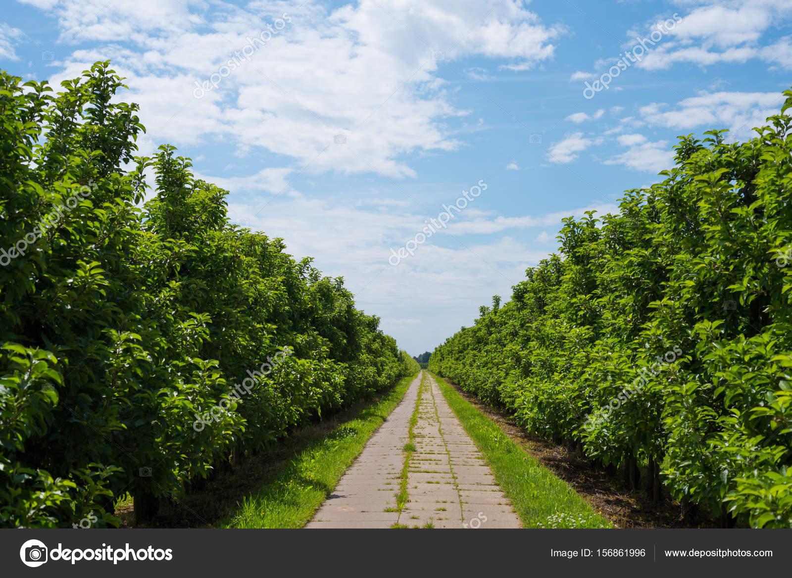 droit chemin pav entre les rang es d arbres de pomme verte luxuriante plantation sous le beau. Black Bedroom Furniture Sets. Home Design Ideas