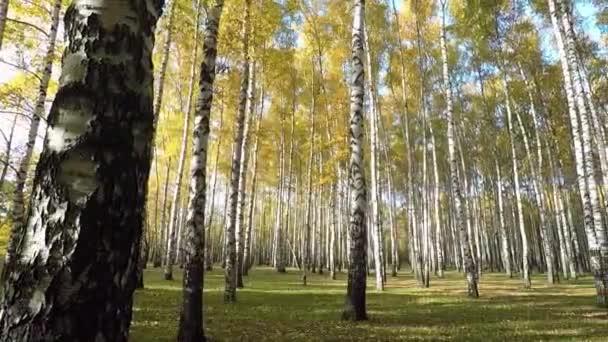 Podzimní březový les ve slunečný den
