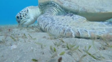 Giant Green Sea Turtle Dugong Feeds on Sea Grass Red Sea Egypt