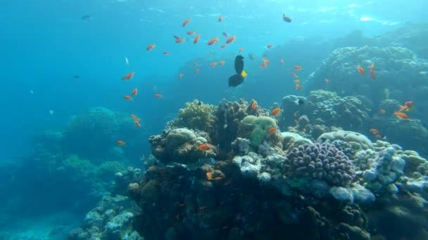 Obří mořská želva plave nad korálového útesu Marsa Alam Egypt Rudé moře