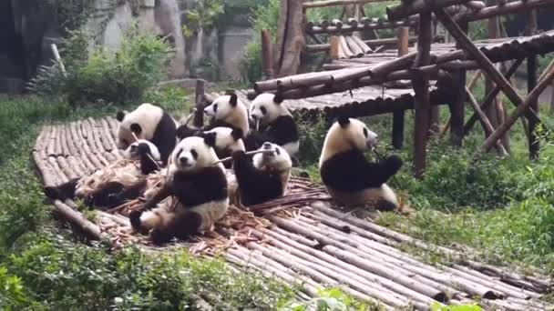 A group of adult panda eating bamboo.