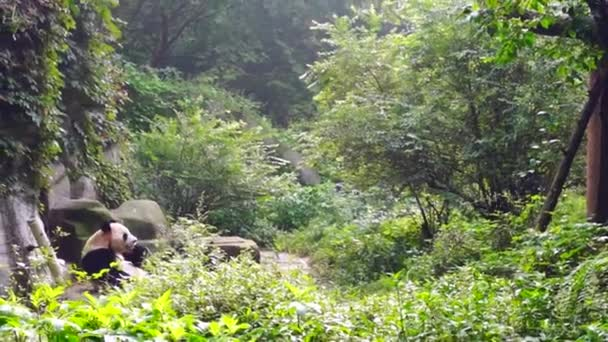 A lonely adult panda bear in the jungle.