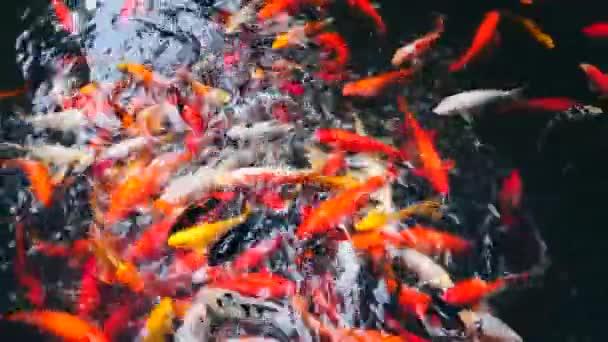 Skupina Cyprinus carpio ryby v jezírku