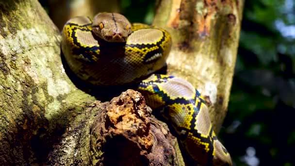 Krásná Detailní záběr obložení Phyton had odpočinku na stromě.