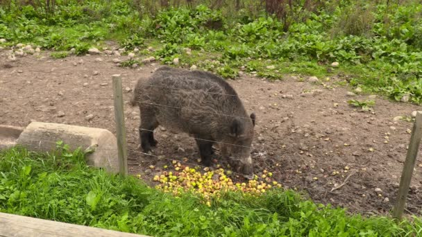 Wild boar eating apples in paddock