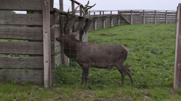 Deer in paddock waiting for food