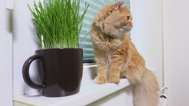 Domácí kočka jíst čerstvou trávu v blízkosti okna