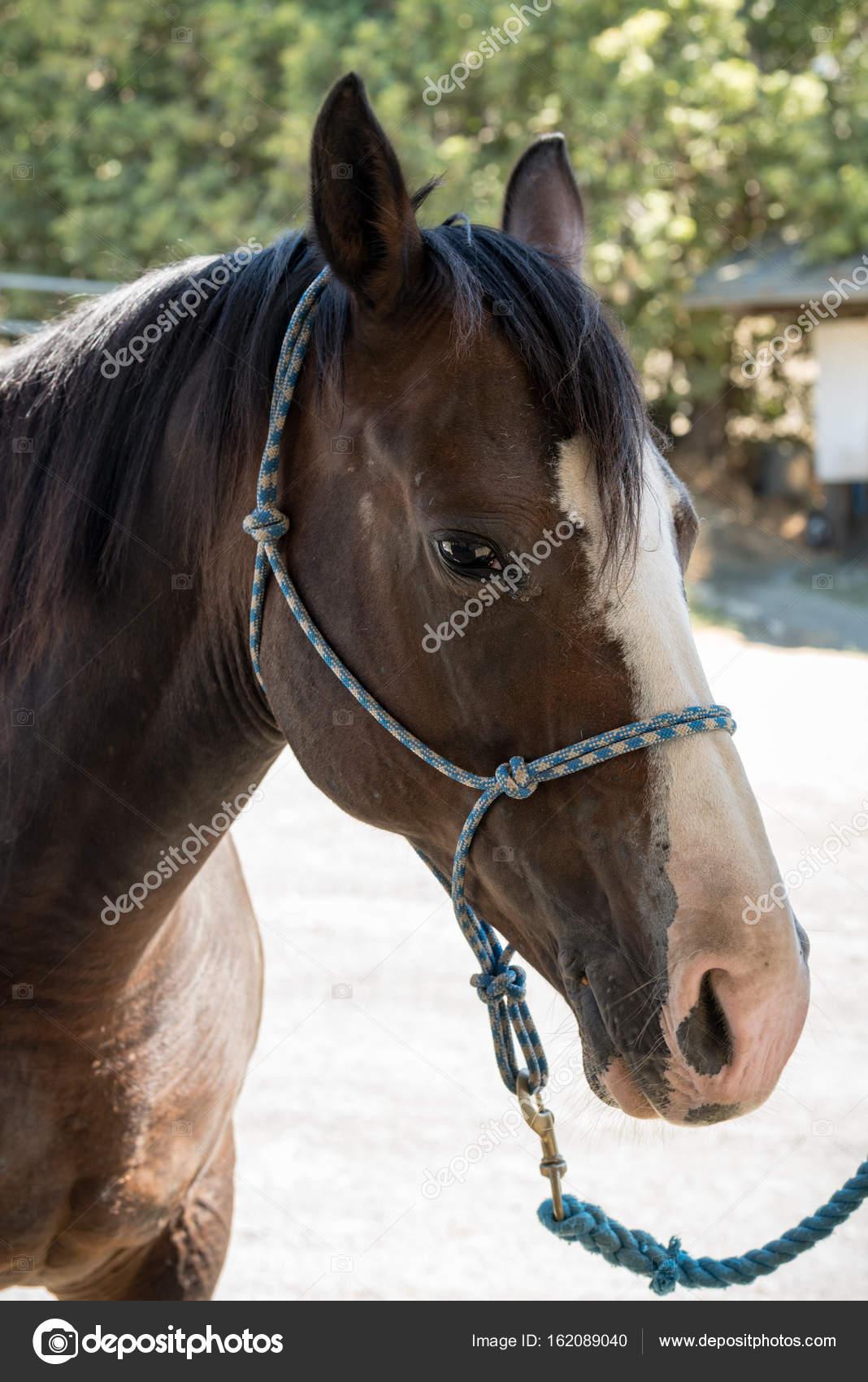 Cara de caballo cuarto de milla de cerca — Foto de stock ...