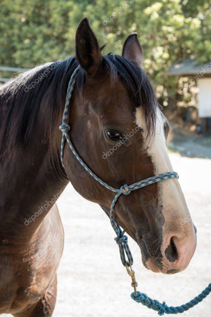 Quarter Horse Face Close Up