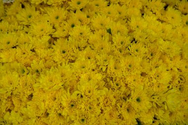 Fresh beautiful bright yellow blooming Chrysanthemums flower background with green pollen selling in local market