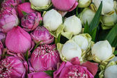 Fresh beautiful blooming and budding pink and white lotus flower, handmade petals fold, with pandan green leaves background selling in morning market