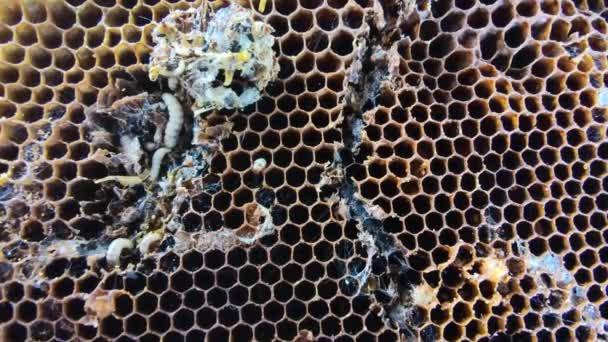Velké a malé larvy voskových ploutví ve starých plástech, zblízka život housenky z Galleriini, parazit v úlu, problém s produkcí medu, infikované včelí buňky, evropský včelařství