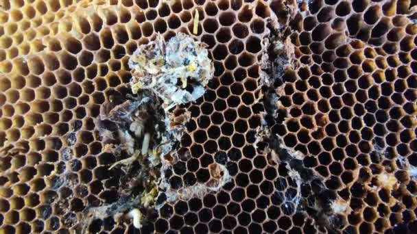 Big and small larvas of wax moth raising in old honeycombs,close up life of Galleriini caterpillar,parasite in the hive,honey producing problem,infected bee cells,european beekeeping