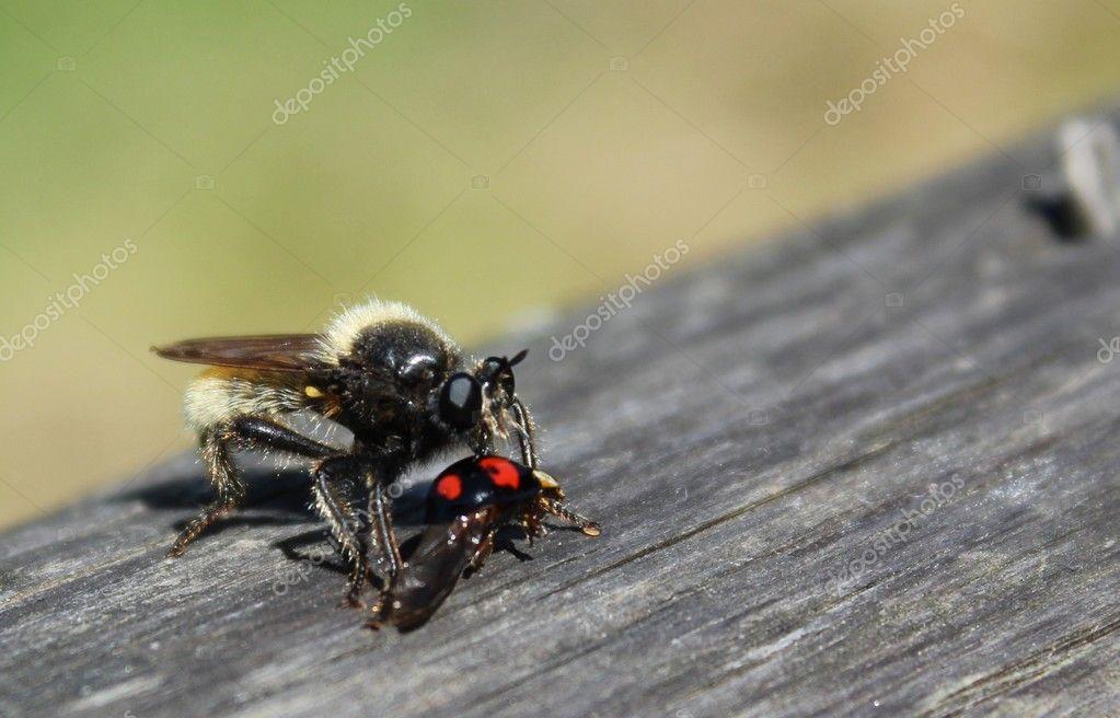 Rape fly eats kidney spotted beetle beetles — Stock Photo