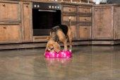 hungrige Beagle Hund
