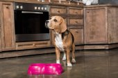 Fotografie hungrige Beagle Hund
