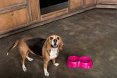 Fotografie Hungriger Beagle-Hund