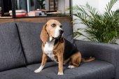 Beagle psa na pohovce