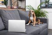 Beagle Hund mit Laptop