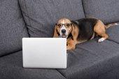 pes Beagle s notebookem