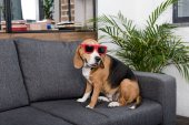 beagle dog in sunglasses