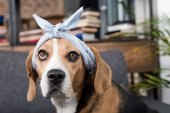 Beagle kutya Nóra