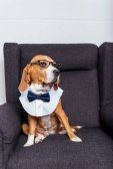Beagle kutya a csokornyakkendő