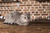 Fotografie scottish fold cat