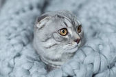 macska a gyapjú takaró