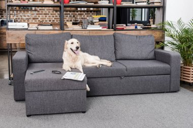 golden retriever dog on sofa