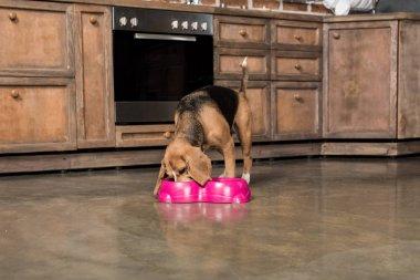 hungry beagle dog