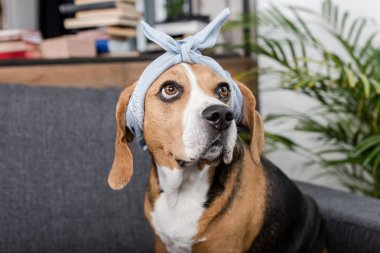 beagle dog in bandana