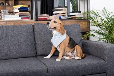 beagle dog in bandana