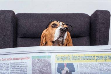 beagle dog with newspaper