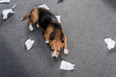 Dog with torn paper