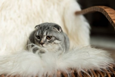 Fluffy scottish fold cat lying on rocking chair with woolly blanket stock vector