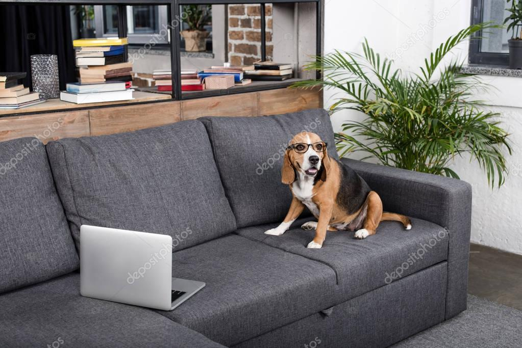 beagle dog with laptop