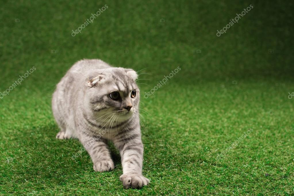 fluffy scottish fold cat