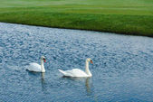 Fotografie Swans swimming in pond