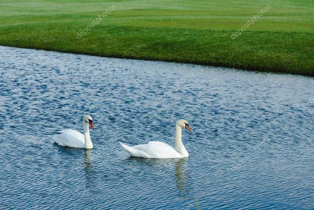 Swans swimming in pond