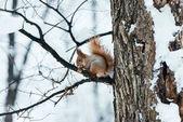 Fotografie Selektivní fokus roztomilá veverka sedí na stromě v zimě lese