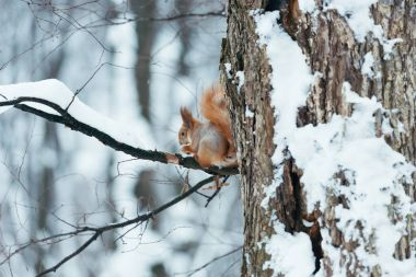 Selective focus of cute squirrel sitting on tree in winter forest stock vector