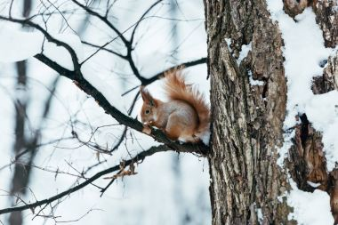 selective focus of cute squirrel sitting on tree in winter forest