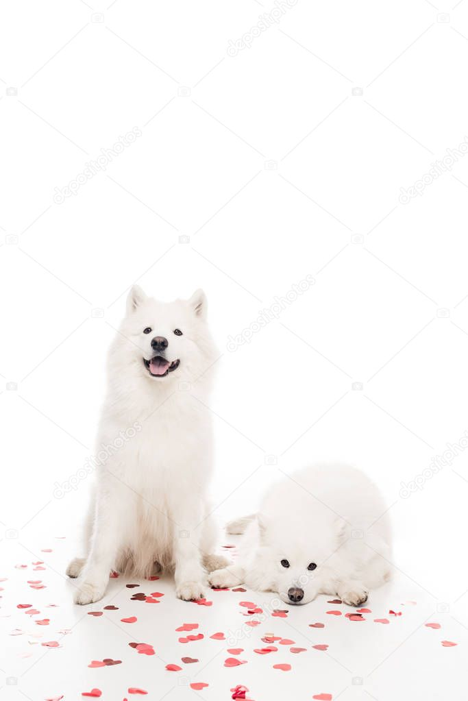 two samoyed dogs with heart shaped confetti on white, valentines day concept