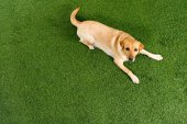 Photo top view of golden retriever dog lying on green grass