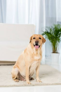 adorable yellow labrador sitting onfloor of living room and looking at camera