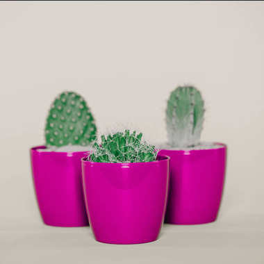 close-up view of beautiful green cactuses growing in purple pots on grey