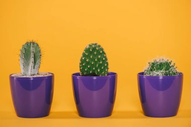 beautiful green cactuses growing in purple pots on yellow